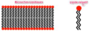 Bi-couches lipides